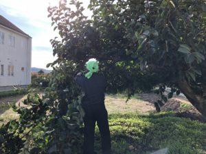 柿の木の伐採