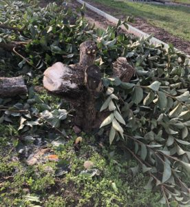 柿の木の切り株